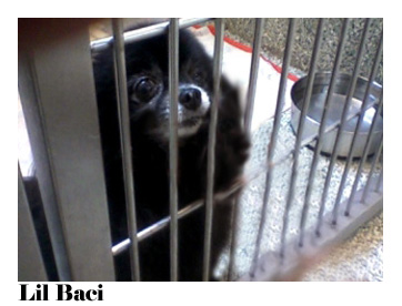 Lil Baci rescued dog pomeranian